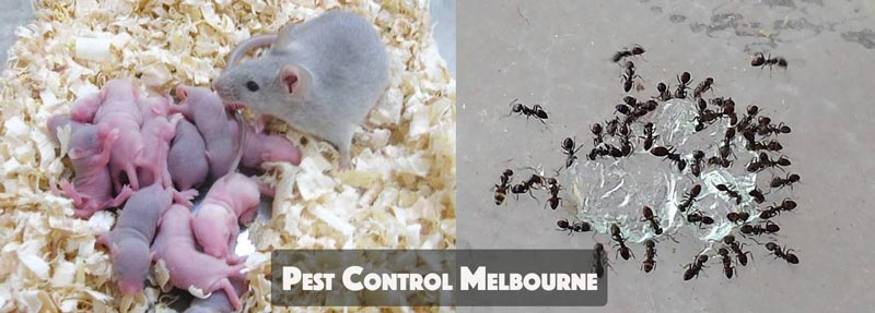 Pest Control Dixons Creek