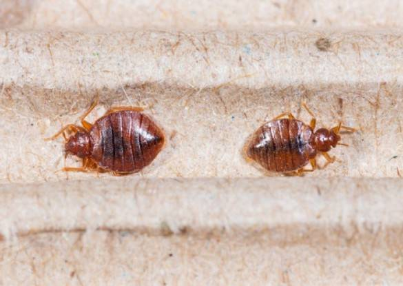 Bed Bugs Control Ombersley