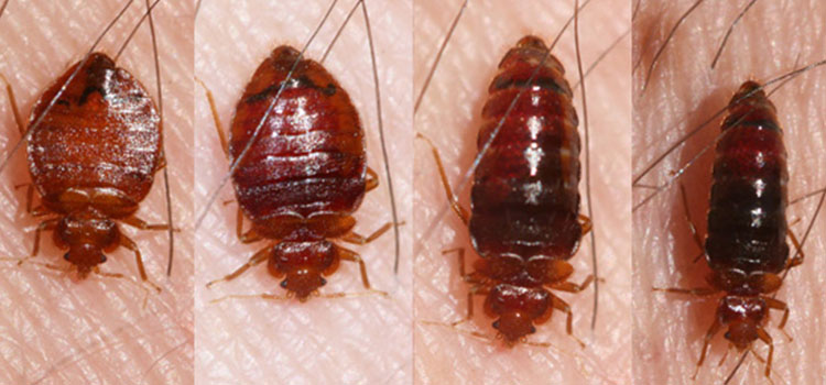 Image result for bed bug