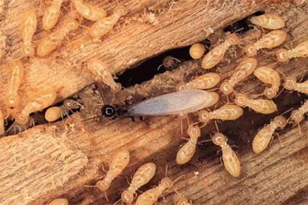 Awesome Get Rid of Termites