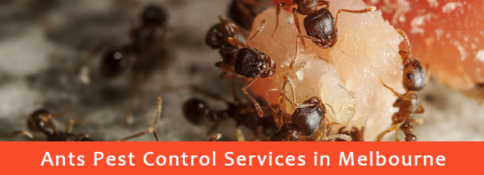 Ants Pest Control Services in Melbourne