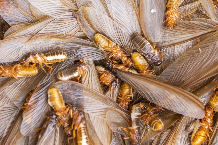 Why Flying Termites Means Serious Trouble Marks Pest Control