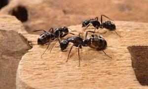 Ant Pest Control Jaspers Brush