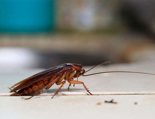 Cockroach Pest Control Services Fairfield