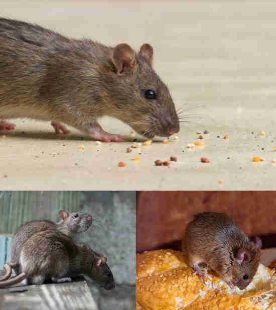 Rodent Pest Control Solutions