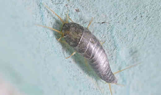 silverfish allergy