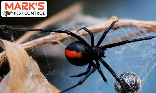 Spider Pest Control Black Hill