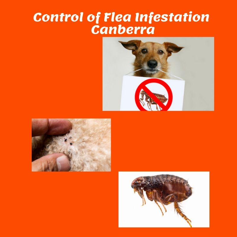 Flea infestation control canberra