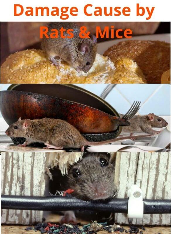 damage cause by rats & mice