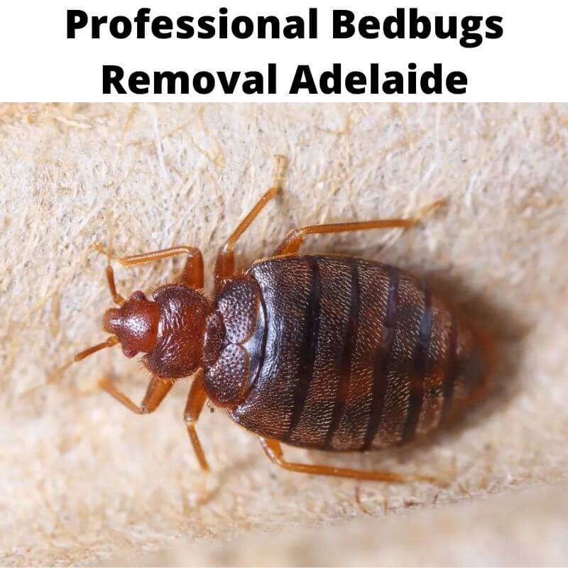 professional bedbugs removal adelaide