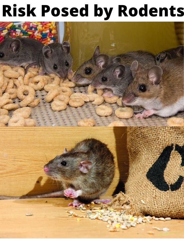 risk posed by rodents