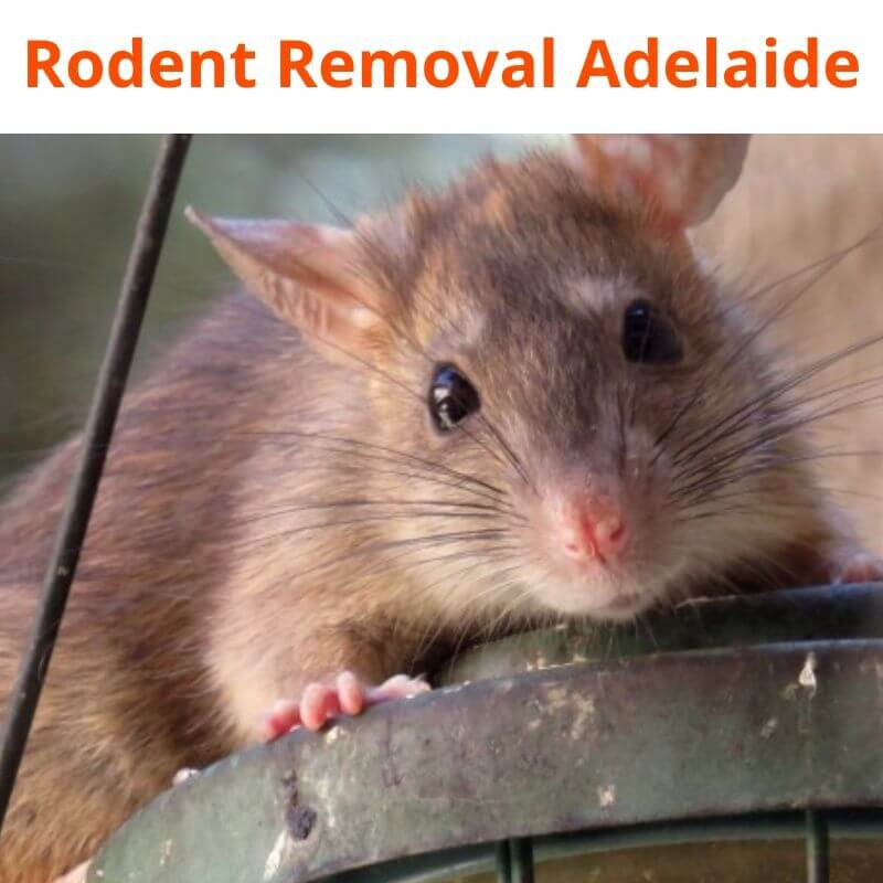 rodent removal adelaide