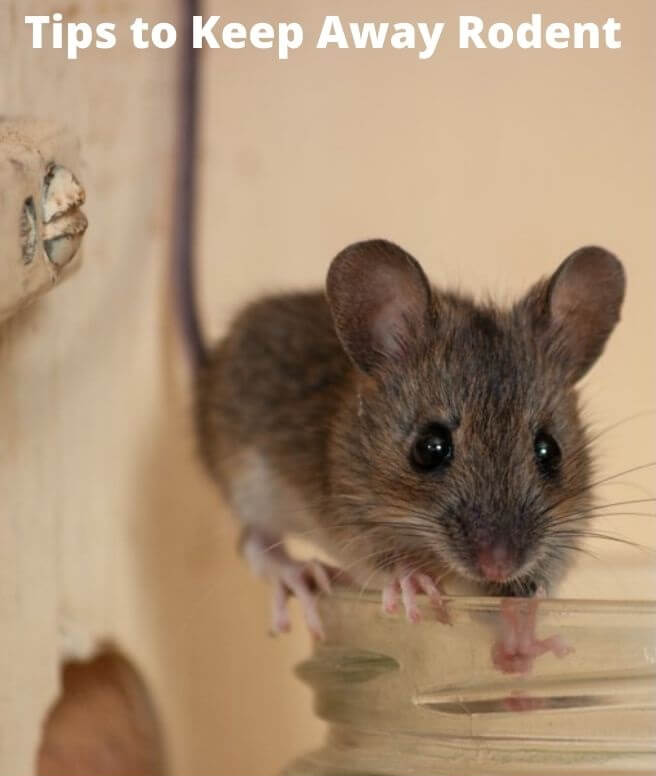 tips to keep away rodent