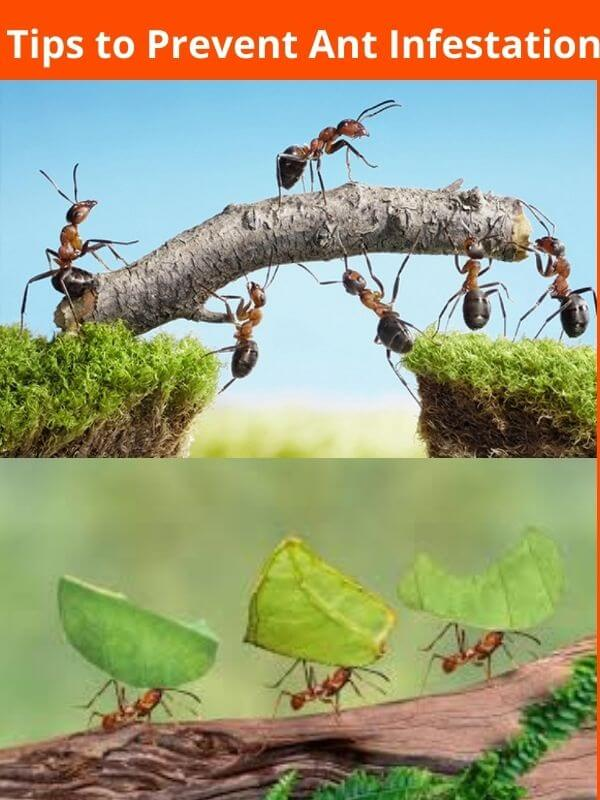 tips to prevent ant infestation