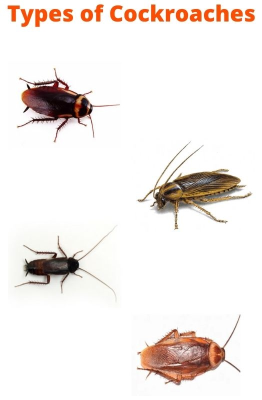 type of cockroach