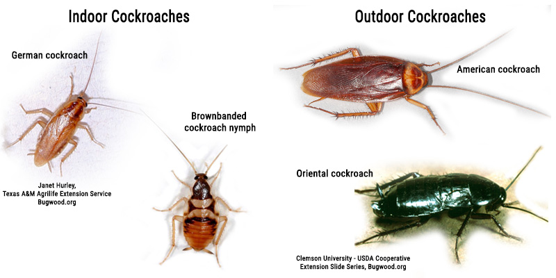 Types of Cockroaches