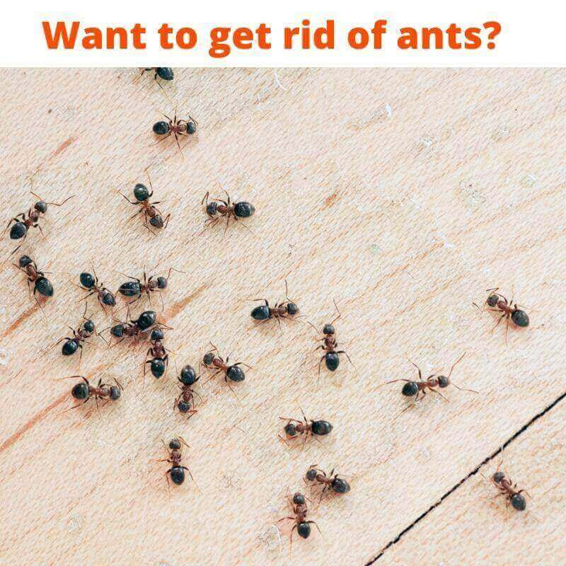 want to get rid of ant