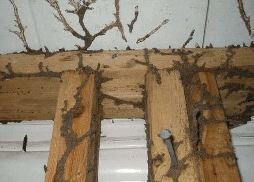damage posed by Termite