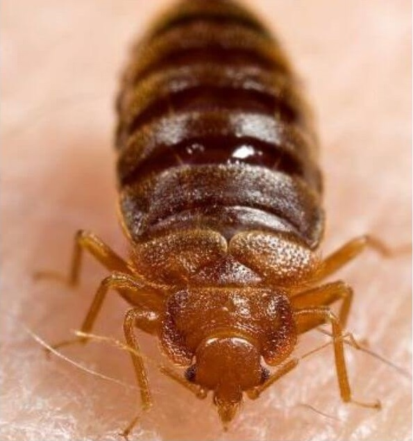 tips to prevent bedbugs infestation