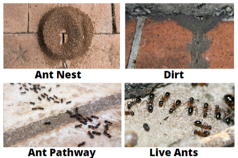 signs of ant infestation