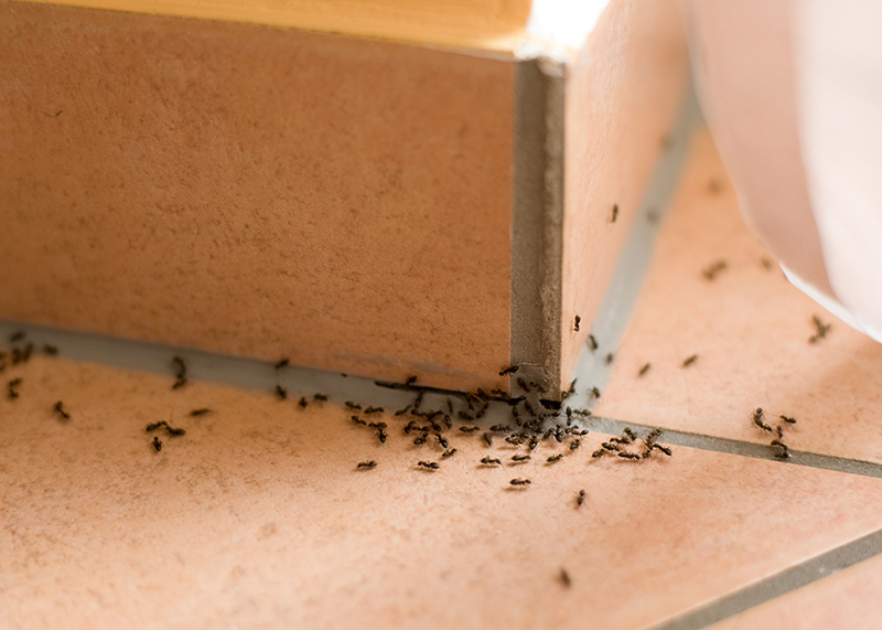 ant infestation  through crack