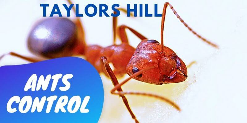 Ant control Taylors Hill