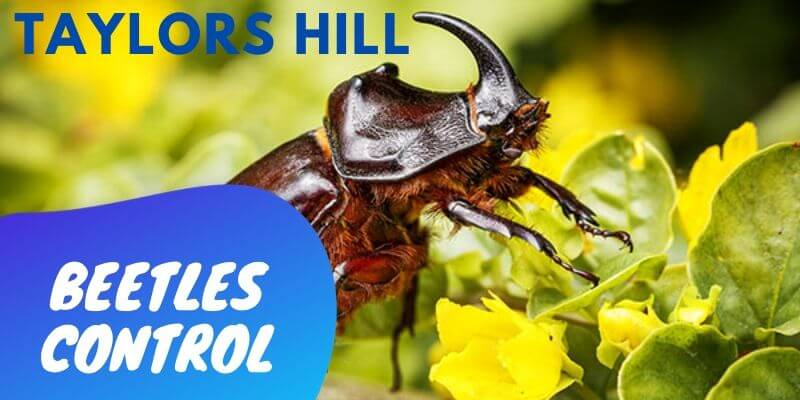 Beetles control Taylors Hill