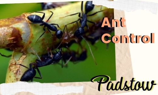 Ant Pest Control Padstow