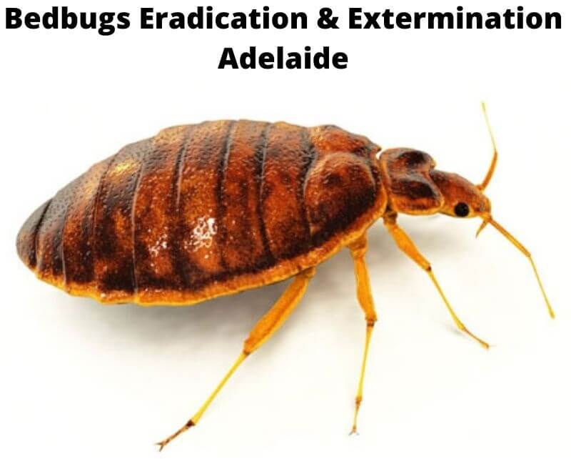 bedbugs eradication adelaide