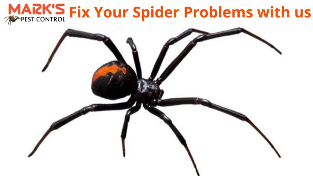 fix spider problem with makrs spider control canberra