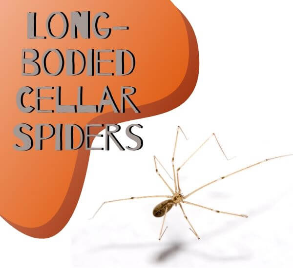 Long-bodied-Cellar-Spiders