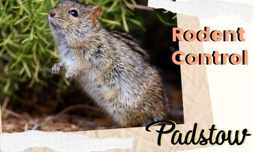 Rodent Pest Control Padstow