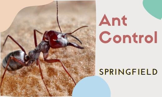 Ant Pest Control Springfield