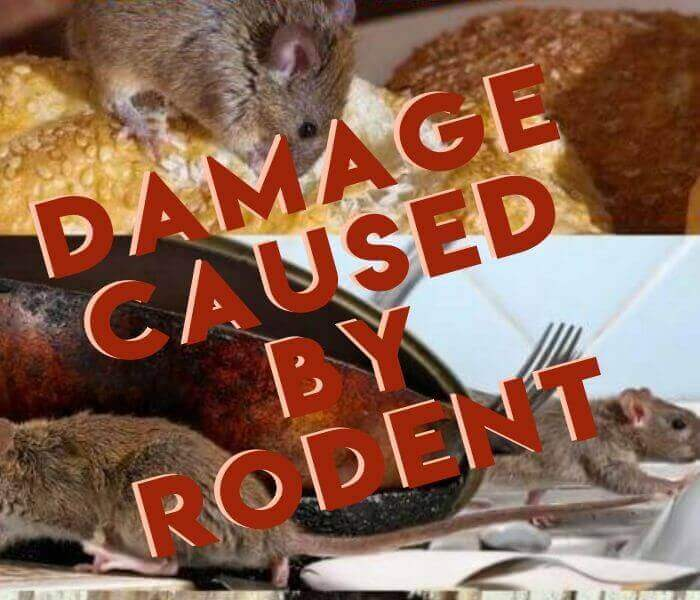 damage cause by rodent
