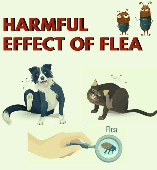 harmful effect of flea