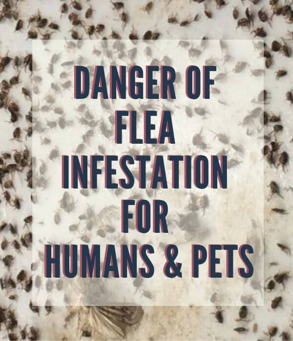 risk of flea