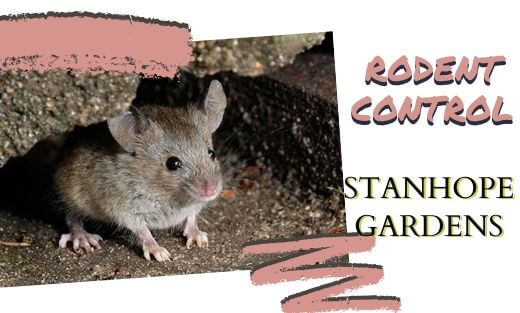 Rodent Pest Control Stanhope Gardens