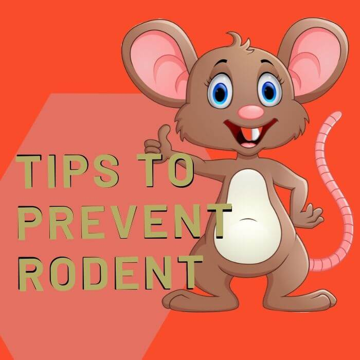 tips to control rodent in Adelaide