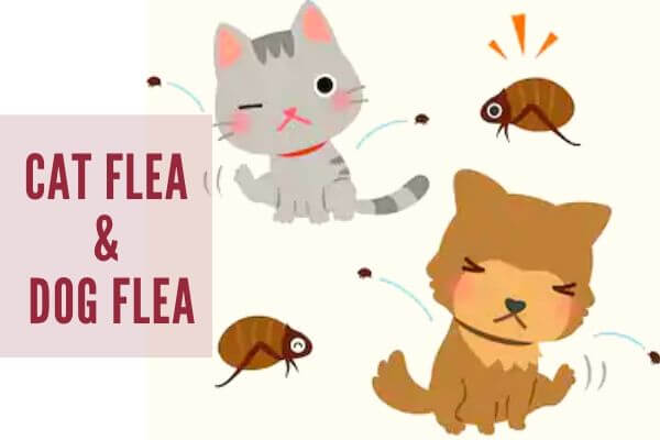 type of flea-flea control brisbane