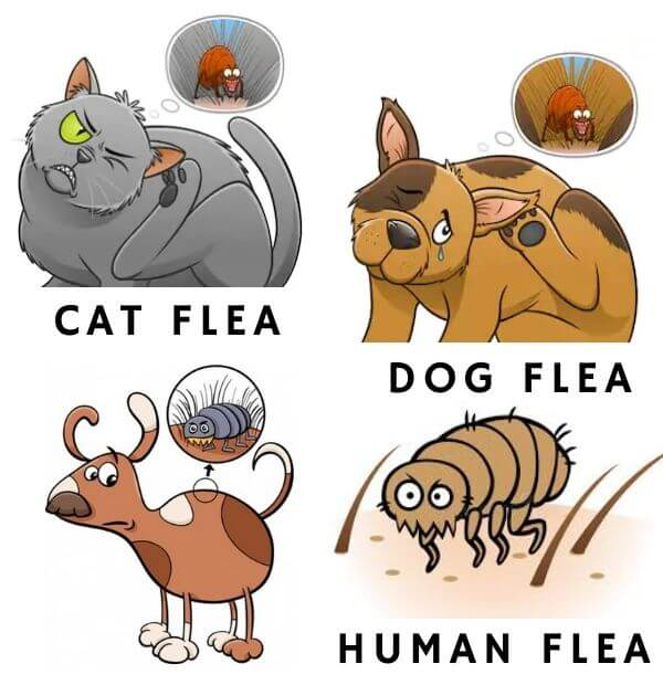 type of flea-flea control perth