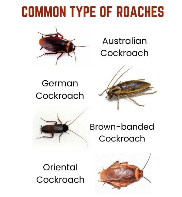 cockroach control perth-type of roaches