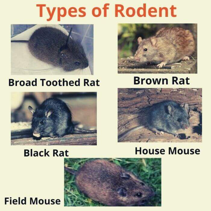 type of rodent