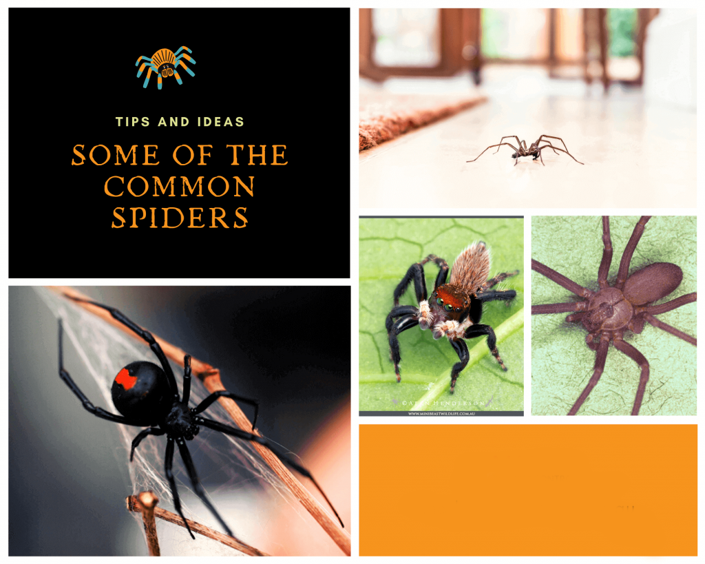 Some of the Common Spiders