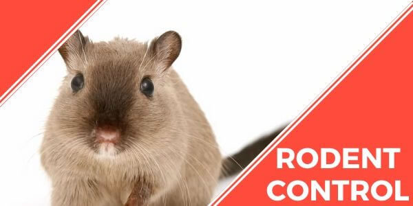 Rodent control Mountain Creek
