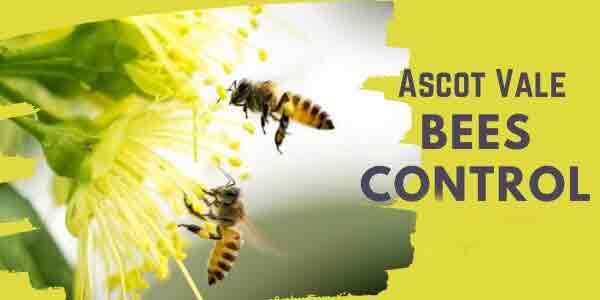 Bees control Ascot Vale