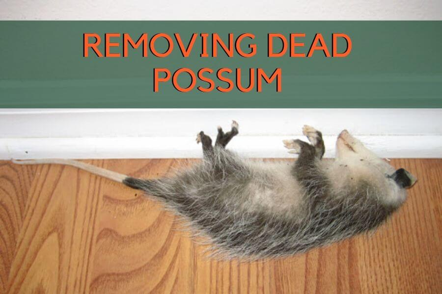 removal of dead possum