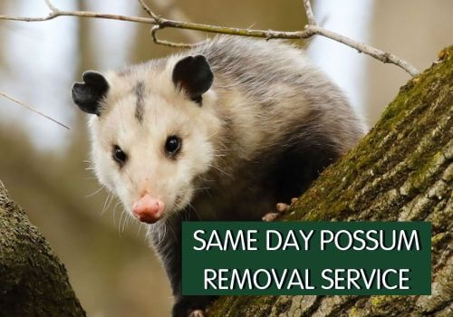 SAME DAY POSSUM REMOVAL SERVICE
