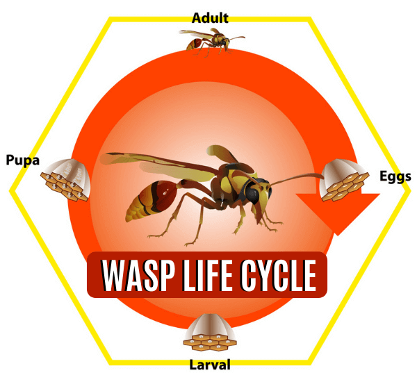 WASP LIFE CYCLE