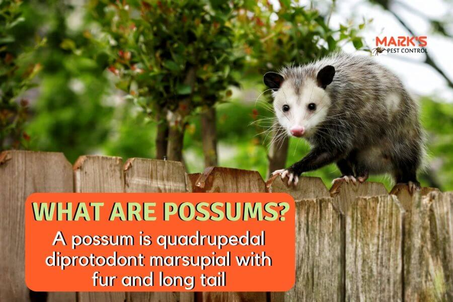 Possums walking on wooden barriers and text about what are possums