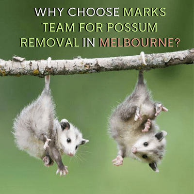 WHY CHOOSE MARKS TEAM FOR POSSUM REMOVAL IN MELBOURNE_ (1) (1)